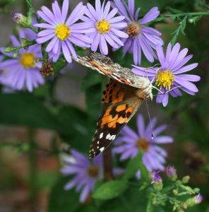 Cover photo for Asters: Beautiful Fall Color