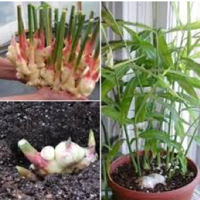 Image of ginger potting