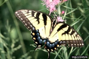 Easter Tiger Swalowtail butterfly